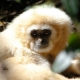 Yellow-Cheeked-Gibbon