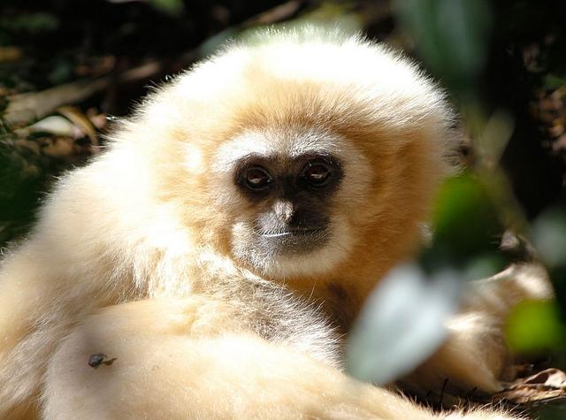 Yellow-Cheeked-Gibbon