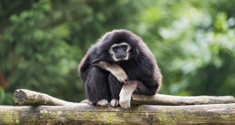 I am a really bored Gibbon
