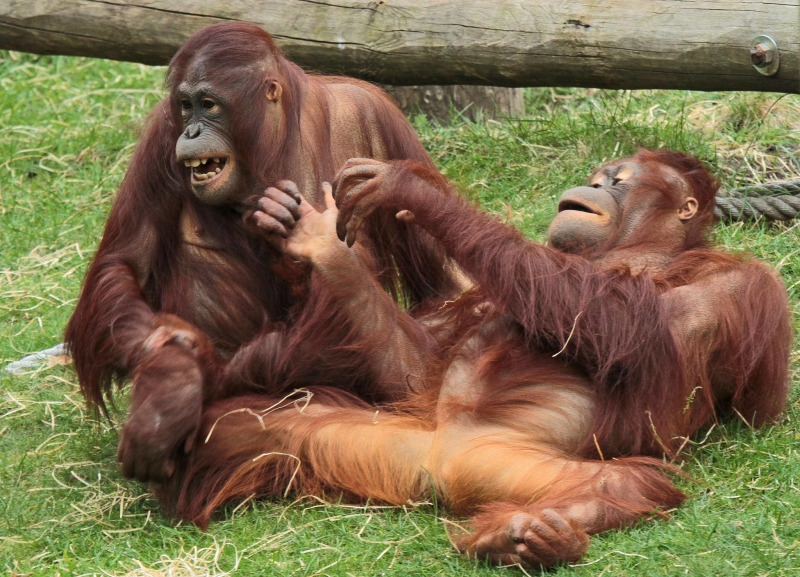 Older Orangutan monkeys playing
