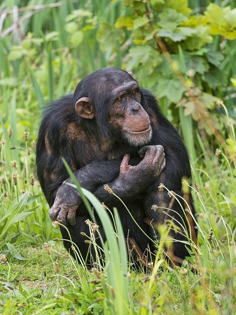 Thinking-young-chimpanzee