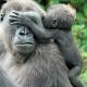 Gorilla-NKato-en-babysitter-burgerszoo