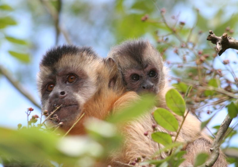 Capuchin monkey and his mother