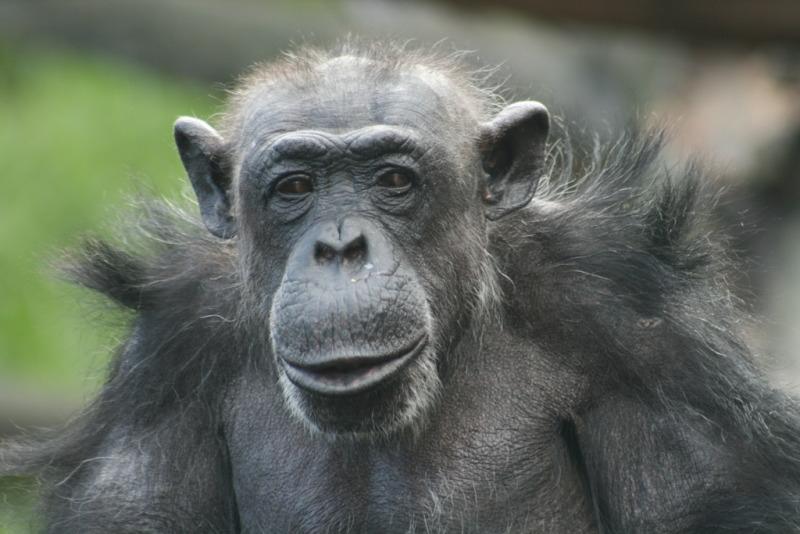 Older Chimpanzee at Taronga Zoo