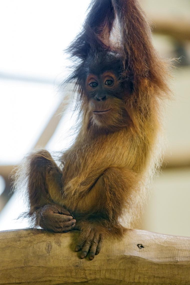 Baby-orang-utan-on-the-branch