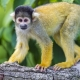 A squirrel monkey on a branch,