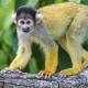 A squirrel monkey on a branch,