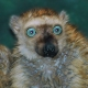 Blue-eyed-lemur