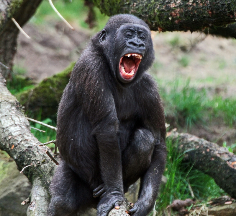 The screaming young Gorilla wants attention