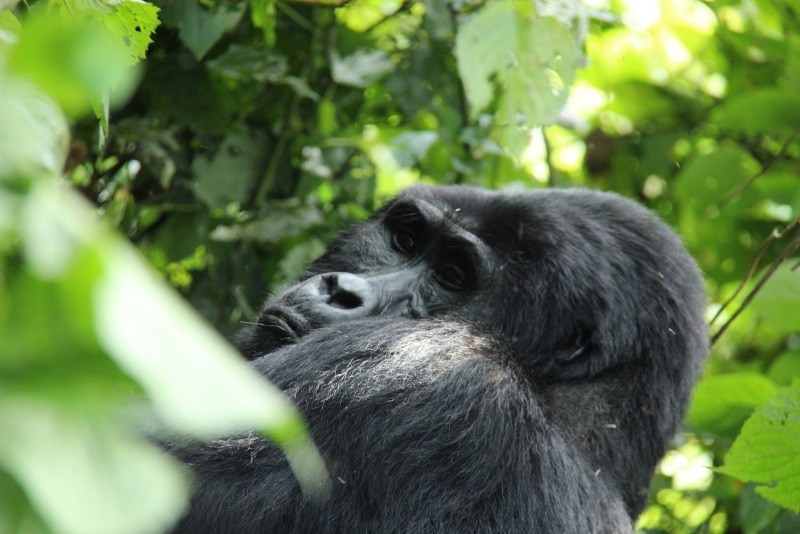 A silverback gorilla (adult male) takes a look at us.