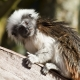 Cotton-Topped-Tamarin