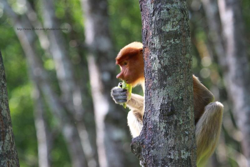 Lunch for this Proboscis primate