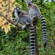 Ring tailed Lemurs showing off their tails