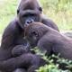 Westelijke-laagland-gorilla-apenheul