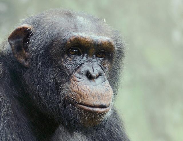 Chimp-portrait-1
