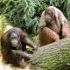 Naughty orang-utans waiting to be fed