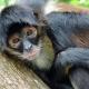 Spider monkey in a tree in Belize