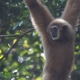 Cute Gibbon hanging from a tree