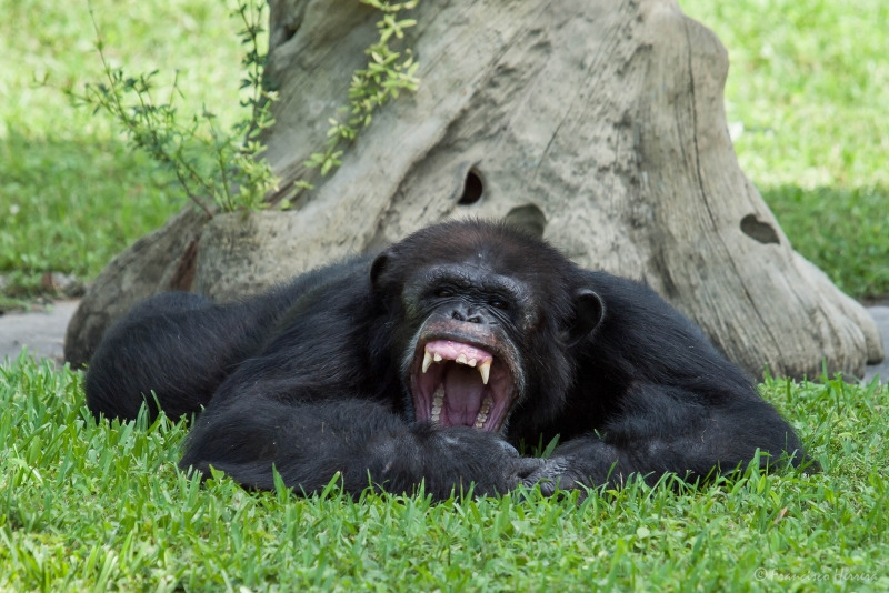 The shouting Chimpanzee