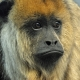 Black Howler Monkey Staring