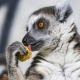 A  Ringtail lemur eating some kind of food, maybe corn?