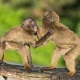 Baboon boxing fight