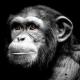 Fractal Chimpanzee portrait