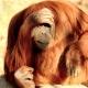 Orangutan at the Memphis Zoo