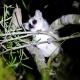 Grey-Mouse-Lemur-Madagascar
