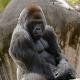 "31 yr. old Western Lowland Gorilla named ""Casey"""