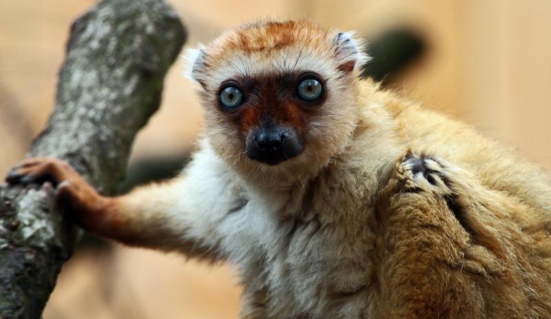 Lemur taking a lean on his branch