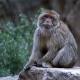 Barbary Macaque sitting on a rock