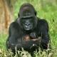 Mother gorilla with her newborn twins