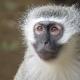 A Velvet Monkey looking sad