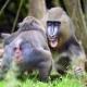 Mandrills at Chester Zoo