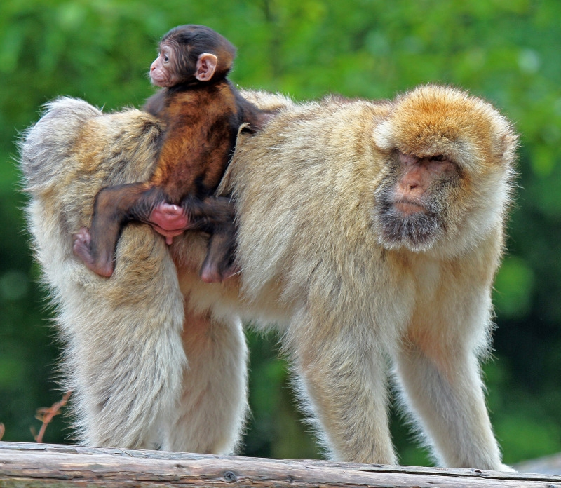 Baby Macaque monkey hitching a ride