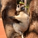 Verreauxs Sifaka in the safety of a tree at Berenty Reserve,