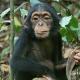 Sad looking chimpanzee