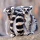 Two cute catta lemurs sitting together
