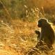 Tanzania baboon at dawn