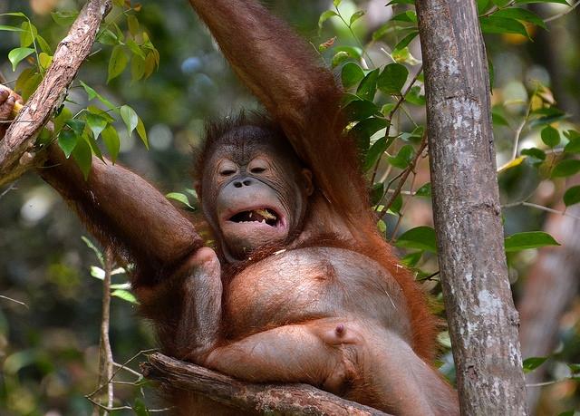Orangutan-pulling-a-face-2
