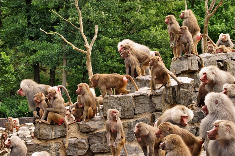 A large group of Hamadryas Baboons