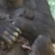 8-Days-old-gorilla-baby