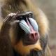A thinking Mandrill monkey