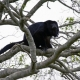 Howler Monkey waiting in a tree
