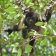 Mantled-Howler-Monkey-5