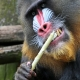 Mandrill and teeth cleaning