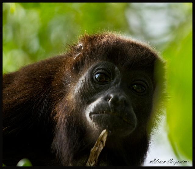 Howler-Monkey-Gaze