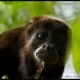 Howler-Monkey-Gaze