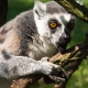 Do not disturb the Lemur